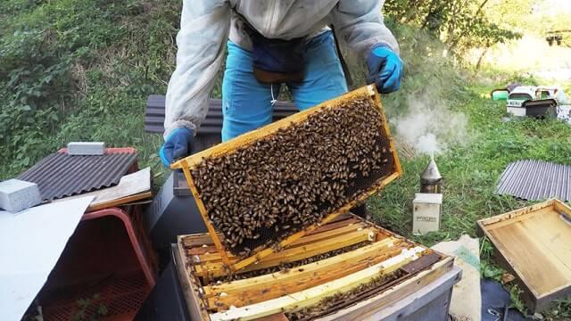 巣箱のミツバチ達チェック作業