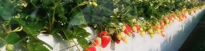 岸川農園の「いちご園」