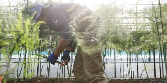 アスパラ 収穫